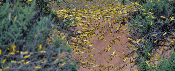 FILE: Locusts aggregate on the ground on 22 January 2020 at Lerata village near Archers Post in Samburu county, approximately 300 kilomtres north of the Kenyan capital, Nairobi. Picture: AFP