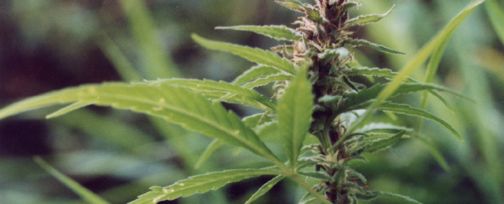 FILE: Cannabis indica. Picture: Freeimages.com