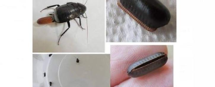 roaches-eggs-pestsjpg