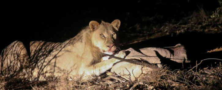 Titus, the male lion who was released at the Samara Private Game Reserve in the Eastern Cape. Picture: Cindy Archillies/EWN