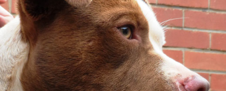 FILE: Stolen dog rescued from dog fighters. Picture: SPCA