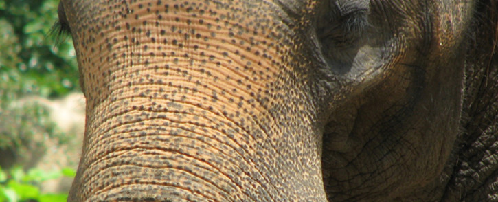 An Asian elephant. Picture: Freeimages.com.