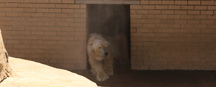 Wang was the only remaining polar bear in Africa. Picture EWN.