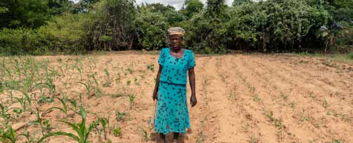 FILE: Josephine Ganye working in her wilting and stunted maize fields due to the unrelenting heat and poor rainfall in the drought prone Buhera in Zimbabwe in January 2020. Picture: AFP