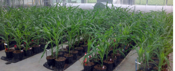 A picture taken in May 2014 shows cultivation of genetically modified maize (GMO) in greenhouse Biogemma in Chappes, central France. Picture: AFP.
