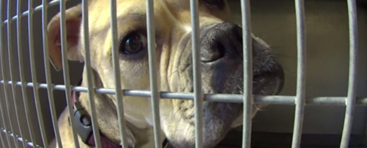 FILE: Although links to dog fighting has not yet been confirmed dog smuggling syndicates often operate from South Africa, Namibia and Angola. Picture: CNN