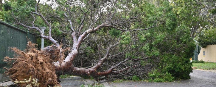 A tree uprooted by a heavy storm in the Western Cape on 13 July 2020. Image: Supplied