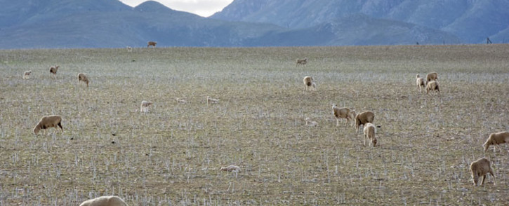 FILE: Sheep grazing in a field near Swellendam, in the Western Cape. Drought, climate change, economic downturn, security issues in rural areas, and uncertainty about the future of land reform in South Africa, are making agriculture in South Africa an increasingly challenging environment. Picture: AFP