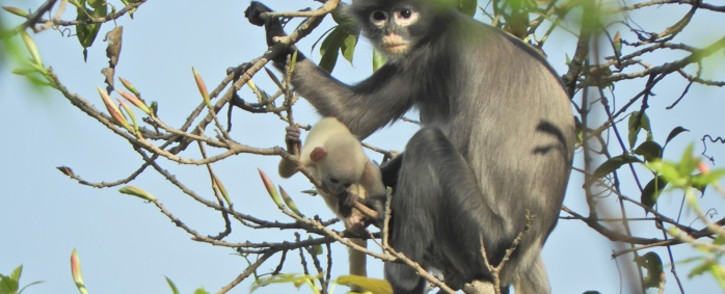 In this undated handout photo released by the German Primate Center (DPZ) on 11 November 2020, the newly discovered primate named Popa langur (Trachypithecus popa) is seen on a tree branch on Mount Popa, Myanmar. Picture: AFP