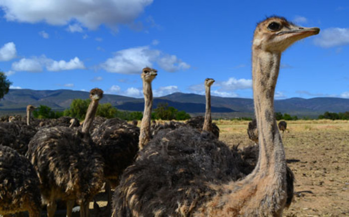 The Western Cape Agriculture Department believes the ban on ostrich meat exports will be lifted.