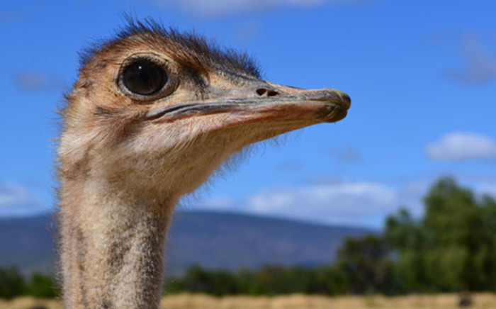 FILE: The Western Cape Agriculture Department has placed two ostrich farms under quarantine. Picture: EWN.