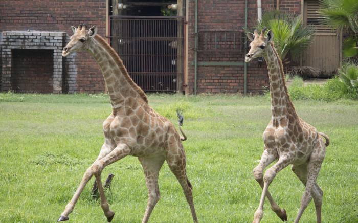 New giraffe at the Pretoria Zoo.  Picture: Christa Eybers/EWN