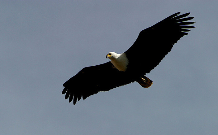 African fish eagle. Picture: Free Images.