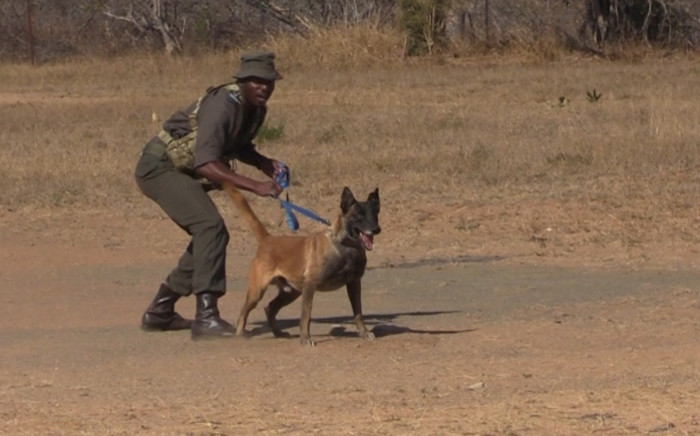 FILE: A K9 unit field ranger at the Kruger National Park during an anti-poaching demonstration of using dogs to sniff out poachers. Picture: EWN.