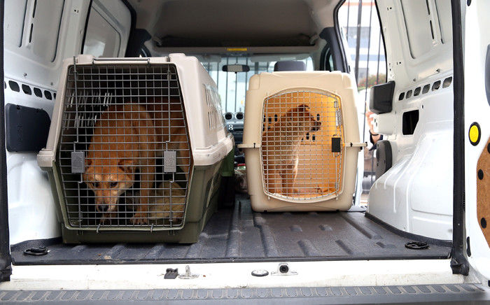 Dogs rescued from a South Korean dog meat farm sit in their crates in a van at the San Francisco the San Francisco Society for the Prevention of Cruelty (SPCA) shelter on 20 March, 2015 in San Francisco, California. Picture: AFP.