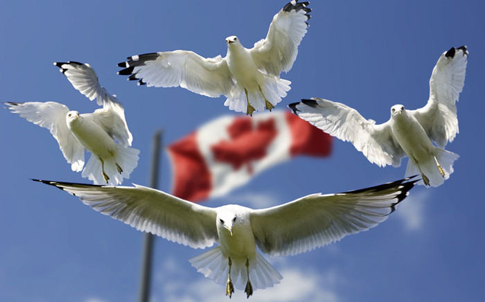 FILE: A Canada flag seen behind a colony of flying Seagulls. Picture: Pixabay.com.