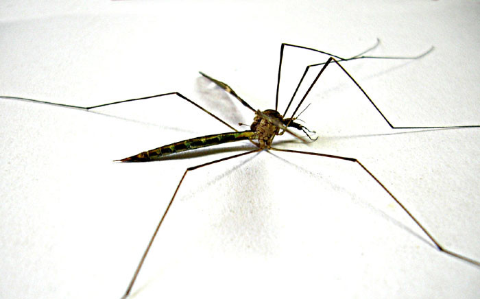 FILE: In the first 14 years of this century, the number of malaria deaths dropped by 40% because of medical advances and the reduction of mosquito breeding sites. Picture: Freeimages.