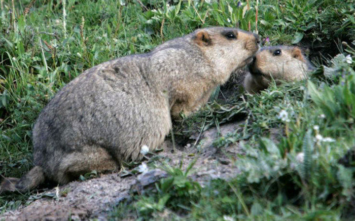 Marmots. Picture: Wiki Commons.