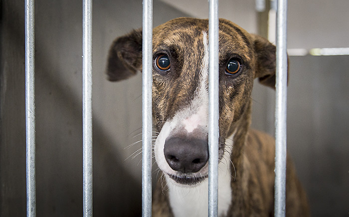 One of the greyhounds confiscated from suspected dog hunters in July, which is being cared for at the Cape of Good Hope SPCA. Picture: Aletta Harrison/EWN