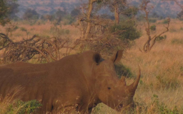 A rhinocerous in the Kruger National Park. Picture: EWN.