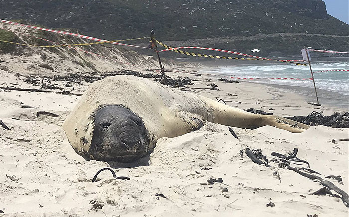 Buffel the seal pictured on Fish Hoek Beach. Picture: Monique Mortlock/EWN