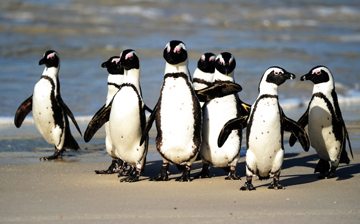 FILE: African penguins at Table Mountain National Park between Simon's Town and Cape Point, near Cape Town, in South Africa. Picture: AFP PHOTO/Jewel SAMAD
