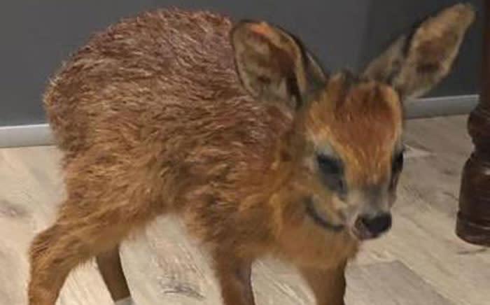 Bambi the Cape Grysbok. Picture: @pjchudson/Twitter