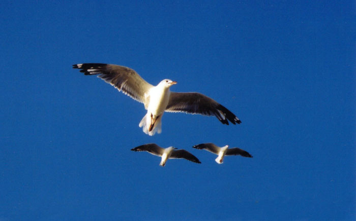 Seagulls hovering in the sky. Picture: Freeimages.com