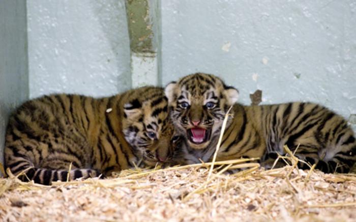 Siberian Tiger cubs. Picture: AFP