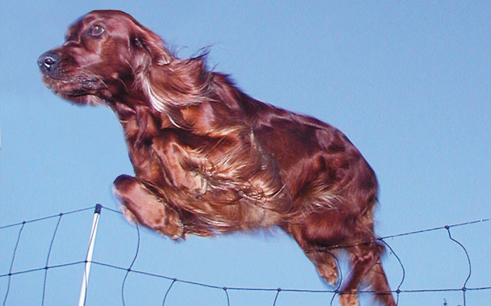 FILE: The world's biggest dog show was thrust into a murder mystery fit for an Agatha Christie novel when a champion Irish setter died after its owner said it had been fed steak laced with poison. Picture: Free Images