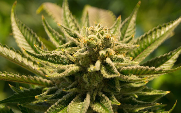 A marijuana plant. Picture: Pixabay.com