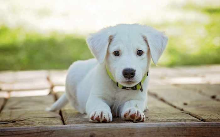FILE: Breeders' waiting lists, meanwhile, have swelled to more than two years. Several have stopped taking new applications for puppies. Picture: Pexels.