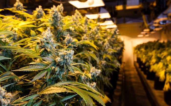 FILE: To produce, distribute or sell cannabis, professionals will need to have a business license granted by a state commission currently being set up. Picture: 123rf
