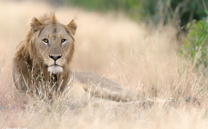 Lion. Picture: Facebook.