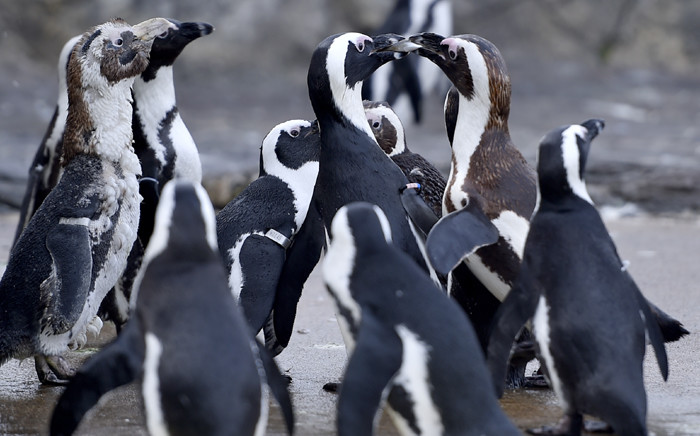 FILE: African penguins. Picture: AFP