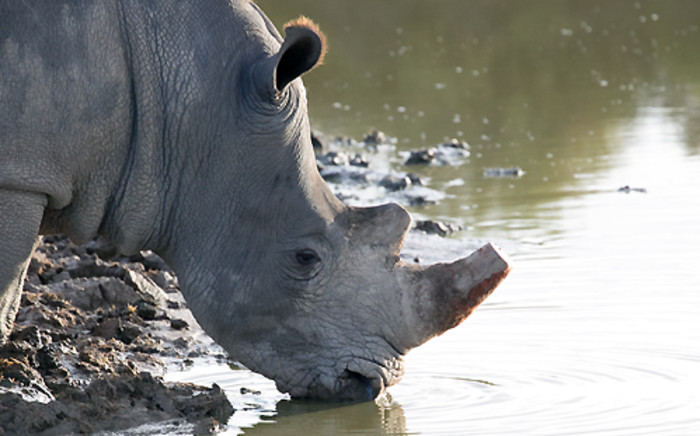 FILE: A rhino bull which was moved from Limpopo to the Western Cape. Picture: EWN.