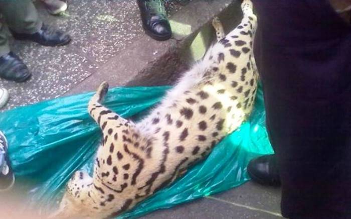A dead wild cat was discovered on the streets of the Johannesburg CBD on 5 December 2014. Picture: Supplied.