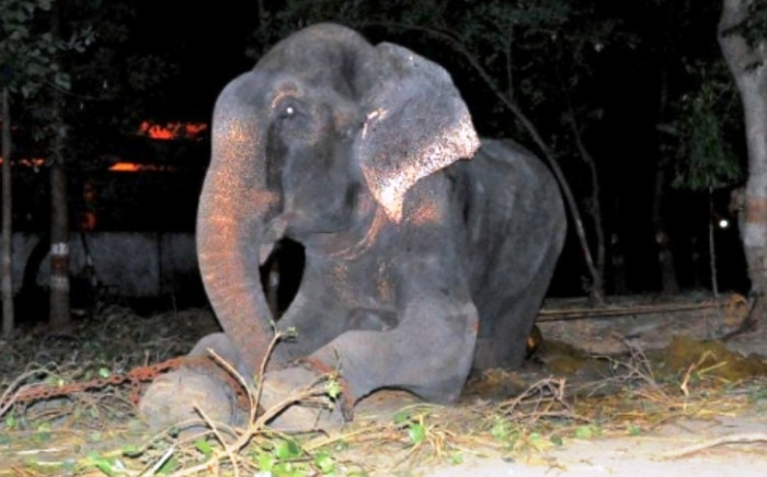 Raju the elephant was released from captivity after 50 years by Wildlife SOS. Picture: Wildlife SOS.