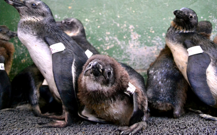 Nearly 50 oil-covered penguins have been rescued and cleaned. Picture: EWN