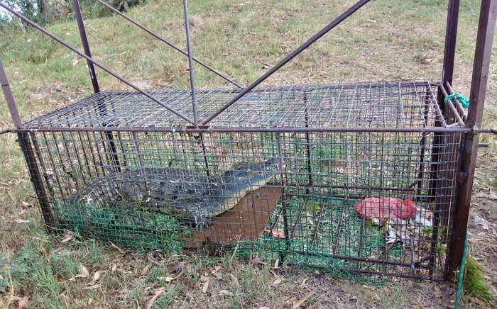 One of the escaped crocodiles in a trap. Picture: @CapeNature1/Twitter