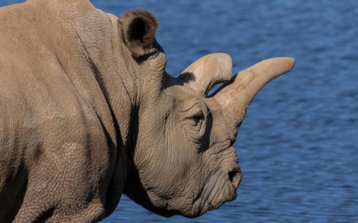 Nola, one of a handful of remaining northern white rhinos left in the world, has died at the San Diego Zoo Safari Park. Picture: San Diego Zoo Safari Park.