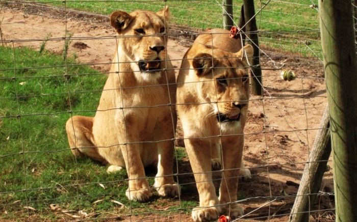Lions bred for hunting. Picture: Ian Michler