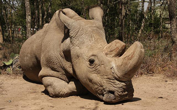 Sudan, the last of the male white rhino subspecies, died at age 45 in Kenya. Picture: @OlPejeta/Twitter.