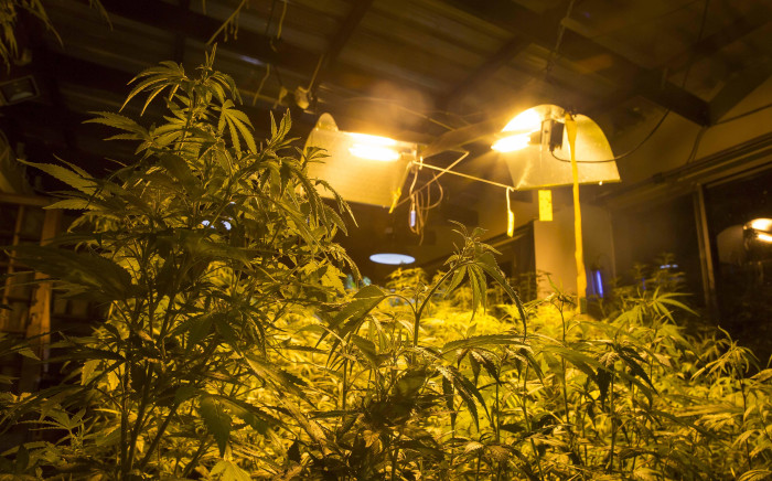 Medical marijuana plants under lights in a grow house. Picture: Thomas Holder/EWN