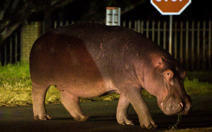 The Fourways hippo is safe and sound back home. Picture: @crimeairnetwork/Twitter