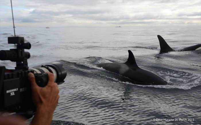 Killer whale. Picture: Dave Hurwitz/ Simon's Town Boat Company