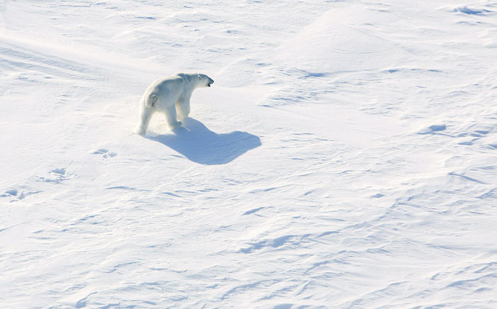 This picture taken from a helicopter shows a polar bear on ice, in the Arctic, near the North Pole. Picture: AFP