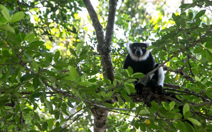 A Lemur Vari sits on a branch near the Vohibola forest, Madagascar, in March 2019. Picture: AFP.