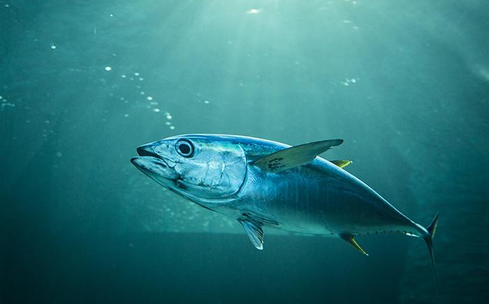 FILE: A tuna fish. Picture: Aletta Harrison/EWN