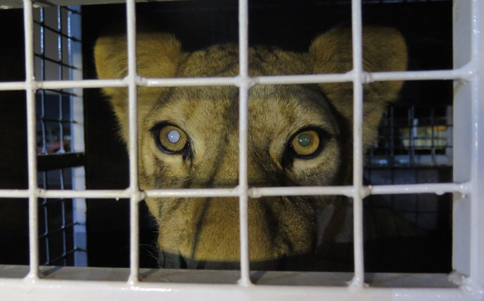 Thirty-three abused rescued lions arrived at OR Tambo airport on 30 April 2016, from where they were transported to their new home in natural enclosures at Emoya Big Cat Sanctuary in Limpopo. Picture: Louise McAuliffe
